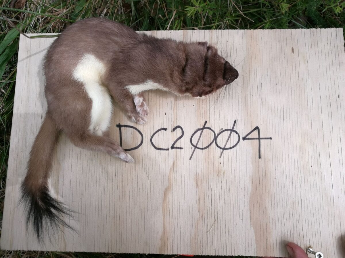 Stoat caught in a DoC200