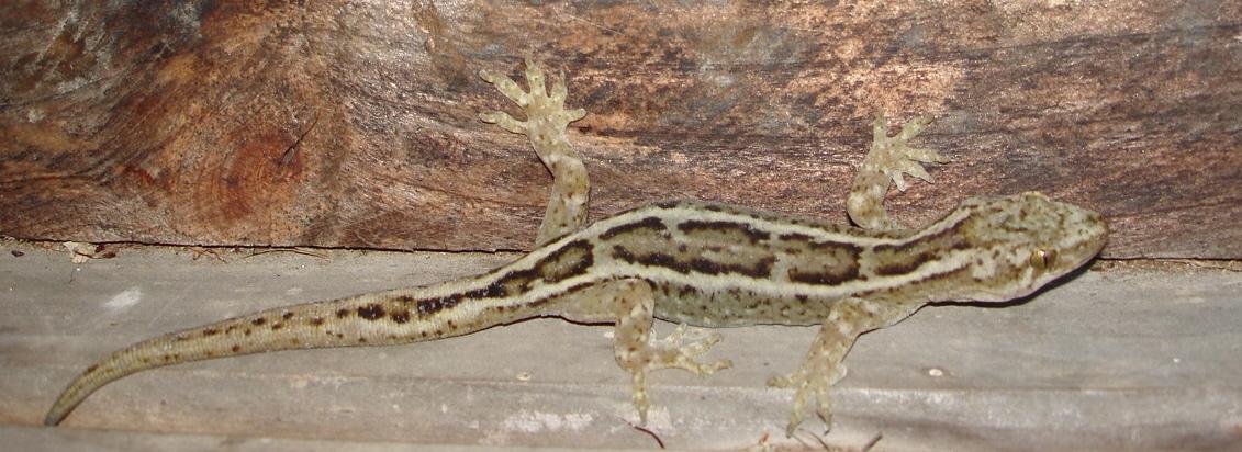 Raukawa gecko